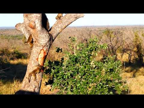 Monkeys at Kruger National Park – South Africa