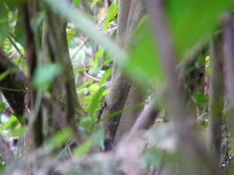 Saltarin Toledo – Long-tailed Manakin Lek en Nicaragua