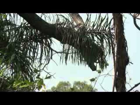 Nicaragua Ometepe Eekhoorn 4 xvid