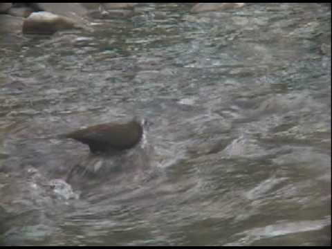 會潛水捕魚的鳥~河烏The birds will dive fishing ~ River Uruguay - YouTube