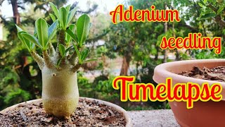 Adenium seed germination timelapse- Hallucinate me!