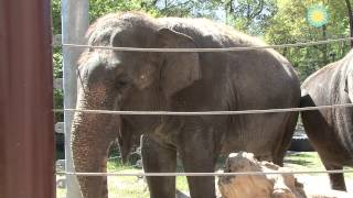 Shanthi, the National Zoo's Musical Elephant, Plays the Harmonica!