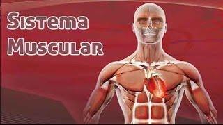 Conheça os principais músculos do corpo humano