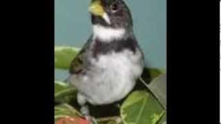 Toque para Celular -Viola e Canto de Pássaros-Toninho Santos Zezé