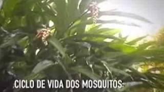 Dengue - Conheça o ciclo do mosquito Aedes Aegypti