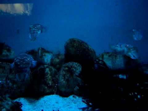 CuttleFish (Two Oceans Aquarium, Cape Town)