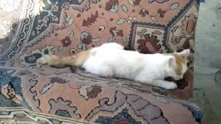 Simba il Leone Bianco ;)