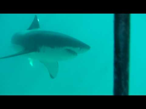 Great White Shark – Cage Diving Gansbaai 2009