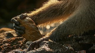 Monkeys Use Tools to Open Shells | BBC Earth