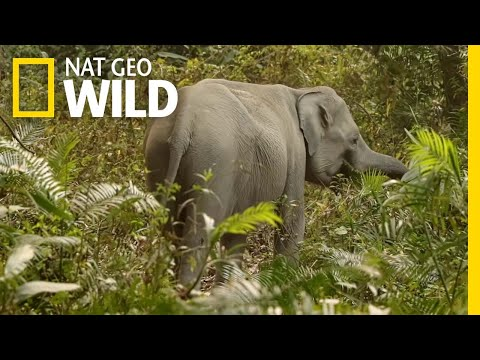 The Complicated Relationship Between Humans and Elephants | Nat Geo WILD