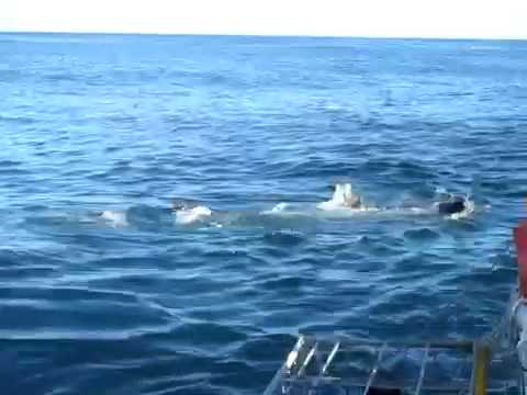 Great white shark attacks bait in front of cage in South Af
