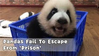 Panda Sesame And Cheese Fail To Escape From 'Prison' | iPanda