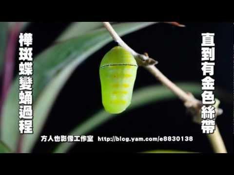 樺斑蝶變蛹過程 - YouTube