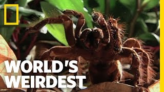 Watch this massive spider in action!
