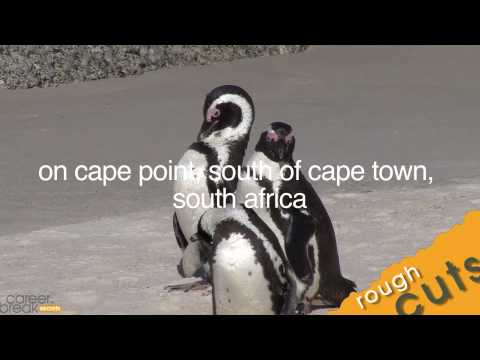 Just African Penguins