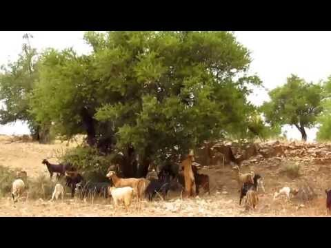 24102011 Goats in argan tree.