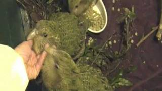 Visiting Kakapo Chicks