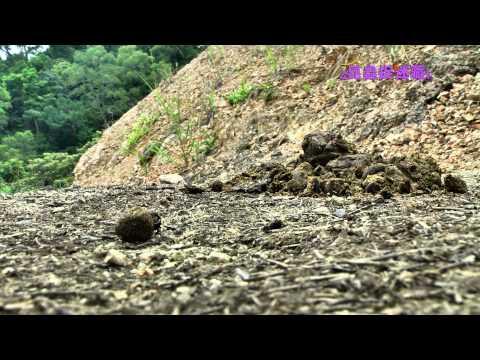 《昆蟲捉迷藏》呵護後代的大自然清道夫【滾動生命:推糞金龜】 - YouTube