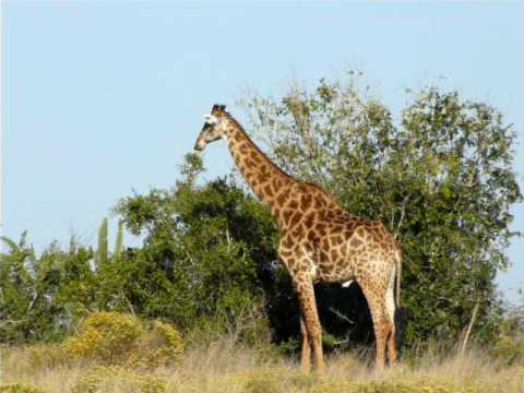 Giraffe while out walking. KZN