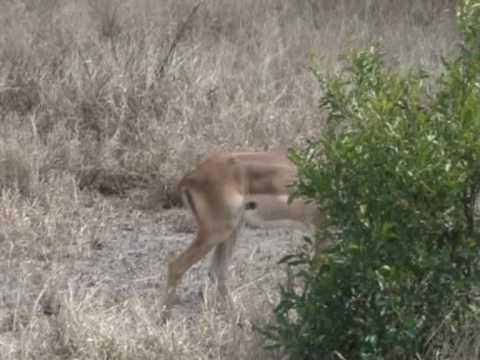 Antylopa Impala w Parku Krugera