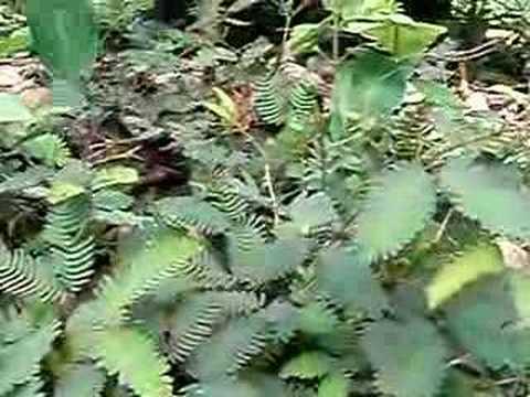 409. Roślina, która się rusza. The plant which moves