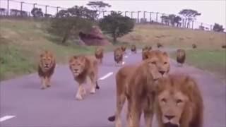 Leões atravessando a estrada
