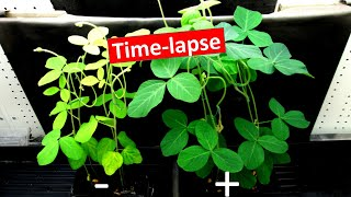 Nitrogen fixation:  time-lapse of soybeans growing with and without Rhizobia