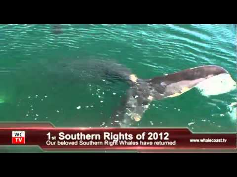 First Southern Right Whales of season 2012 in Kleinbaai, Dyer Island – South Africa