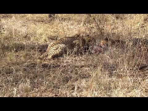Discovering cheetahs on a walking safari…feasting on a warthog!