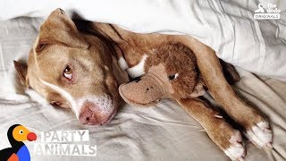 Pit Bull Dog Celebrates Being Cancer Free With A Huge Dog Party | The Dodo Party Animals