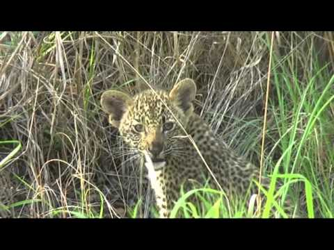 Leopard and her cubs at Arathusa – Faster Download
