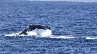 Steve Spizzirri Whale Watch video 2 Maui Feb 2017