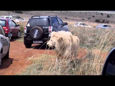 Big White Lion Male next to car- South Africa