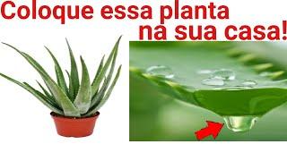 Você precisa colocar essa planta na sua casa!!!