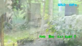 Chita's baby big cat baby find jaugur  🐆