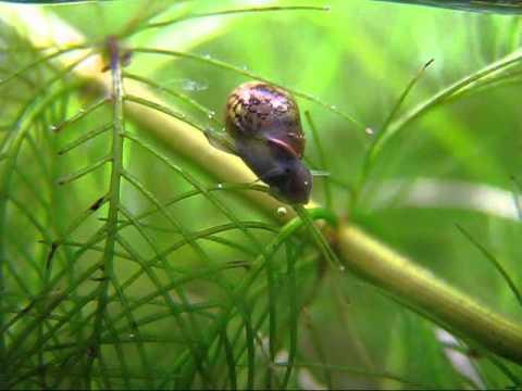 Physa Acuta Salyangoz Akvaryum aquarium