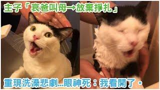 喵啊啊「朕不要洗澡」!主子「哀爸叫母→放棄掙扎」經典重現洗澡悲劇...眼神死:我看開了。