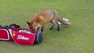 Fox invades golf course & steals man's wallet
