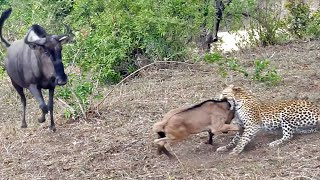 Battle Between Leopard & Wildebeest Mother over Calf