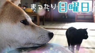柴犬と黒猫の日曜日 Lazy sunday cat and dog