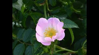 flor hermosa,musica ranchera
