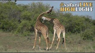 Giraffe Dominance Battle