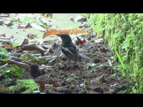 Oriental Robin Magpie – Juvenile