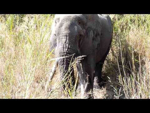 Old Male Elephant Digs for Water – Mala Mala, South Africa