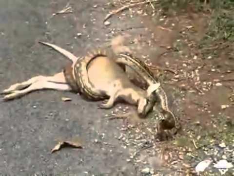 Cobra tentando comer canguru