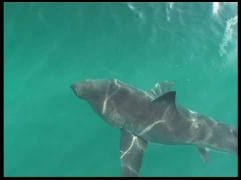 Gran Tiburón Blanco en Gansbaai, Sudáfrica