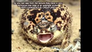 African Desert Rain Frog