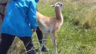 Sauvetage Guanaco - Patagonie