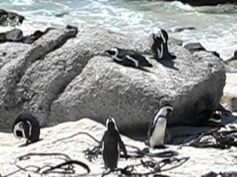 South Africa: Penguins on Boulder Beach