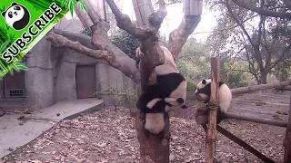 "【Panda Top3】Poor panda being taken ""good"" care of by sloppy mom"